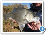 Bass are rarely found in South Australia, but are great sport fish.